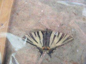 papillons 100_2884-300x225